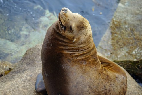Sea lion in Monterey